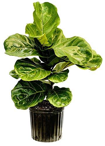 PlantVine Ficus lyrata, Fiddle Leaf Fig - XL (4-5ft), Bush - 12-14 Inch Pot (7 Gallon), Live Indoor Plant by PlantVine (Image #3)