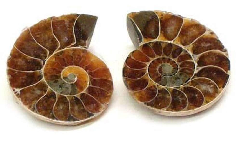 Polished Ammonite Fossil Shell Specimen 2 Matching Half Shells