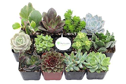 shop-succulents-unique-succulent-collection-of-12