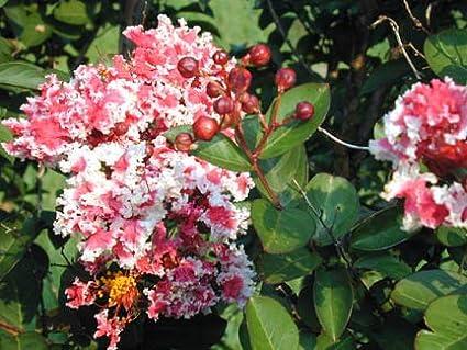3 Gallon Pot Live Plant Peppermint Lace Crape Myrtle