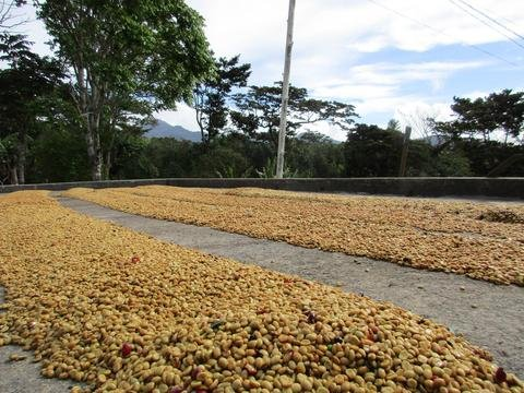 5LBS Panama Finca Santa Teresa Honey Unroasted Green Coffee Beans