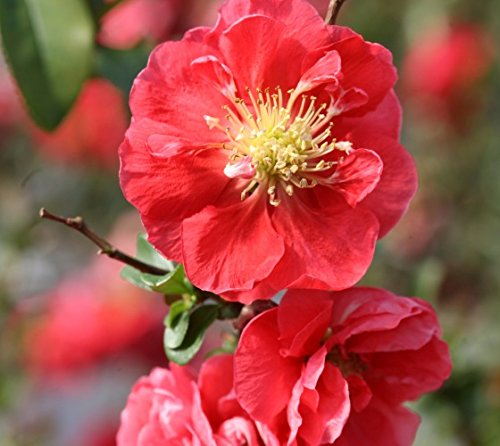 Pink Storm Double Take Flowering Quince - Live Plant - 4 Inch (Flowering Quince Fruit)