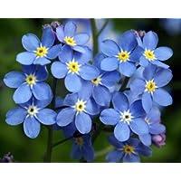 No me olvides semilla, Myosotis sylvatica, azul Flores, Semillas de Herencia Flor, 75ct