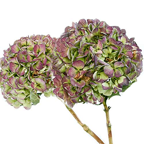 Wreath Hydrangea Dried - New Natural Air-Dried Hydrangea Flowers, for DIY Wreath |Ornament | Wedding | Living Room Decoration,2Stems (Green to Purple)