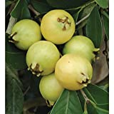 9EzTropical - Lemon Guava (Psidium littorale) - 3 Feet Tall - Ship in 1 Gal Pot