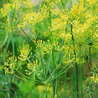 Dill Seed Bouquet Variety by Stonysoil Seed Company