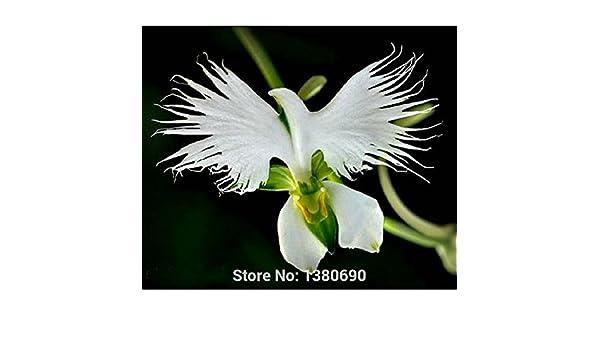 Semillas de Radiata japoneses garza blanca rara orquídea del mundo Orquídea Especies flores blancas orquídeas casas y jardines plantación: Amazon.es: Jardín