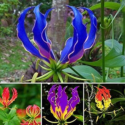 KOUYE GardenSeeds- 50 Pieces Flame Lily Seeds Exotic Seeds Bonsai Lilies Flower Seeds Hardy Perennial Flame Plant Seeds for Balcony/Garden : Garden & Outdoor