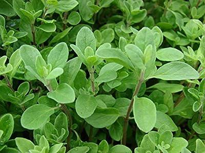 1 oz Seeds (Approx 103181 Seeds) of Origanum majorana, Sweet Marjoram