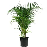10 Seeds Dypsis lutescens (Butterfly Palm) Air Purification Plant