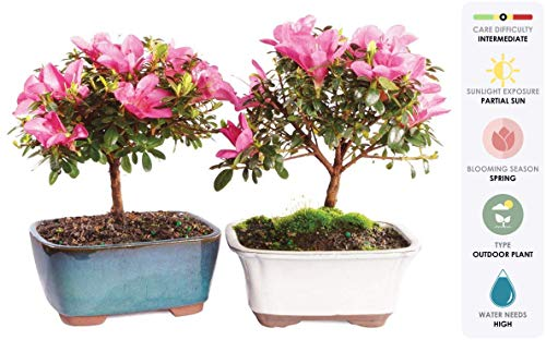 (Brussel's Live Satsuki Azalea Outdoor Bonsai Tree (2 Pack) - 5 Years Old; 6