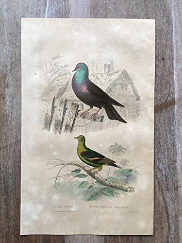 - 1870 Bird Original Antique Engraving, Hand Colored Engraving, Birds Engraving, Vintage Bird Art, Antique Bird Print, Bird Print Ornithology