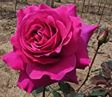 "Brindabella Purple Prince Shrub Rose - One of The World's Most Fragrant - 4"" Pot"