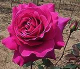 "Brindabella Purple Prince Shrub Rose - One of the World's Most Fragrant - 4"" pot"