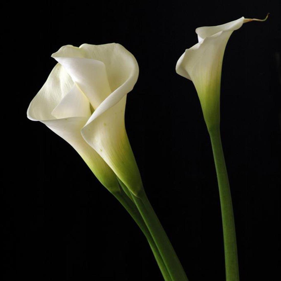 Amazon Calla Lily Seeds 100 Seeds Zantedeschia Aethiopica