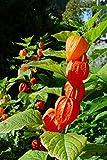 Chinese Lantern Seeds (Physalis Alkekengi) (50)