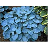 3 Hosta Blue Mammoth Plants Amazoncouk Garden Outdoors