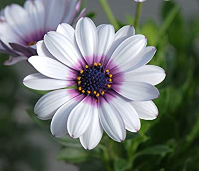 Heirloom 700 Seeds Dimorphotheca Sinuata African Daisy Purple Pink Gold Yellow Red Flower