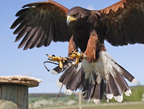 wallmonkeys-fenton-bird-of-prey-centre-peel-and-stick-wall-decals-wm268967-24-in-w-x-18-in-h