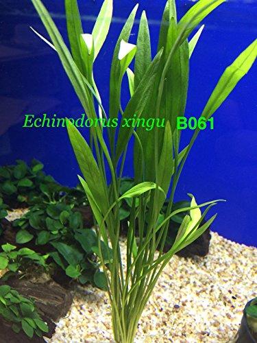 exotic-live-aquatic-plant-echinodorus-xingu-bundle-b061