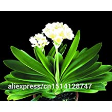 Clivia seeds, cheap Clivia seeds,Clivia potted seed, Bonsai balcony flower - 100 pcs/bag