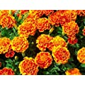 French Marigold Sparky Mix Seeds Over 5 000 Seeds By Seeds2go