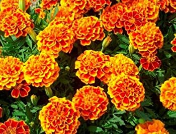 French Marigold Sparky Mix Plants