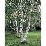 50 Paper Birch Tree Seeds, Betula Papyrifera