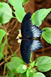 Scarlet Mormon Butterfly (Papilio Rumanzovia) Journal: 150 page lined notebook/diary