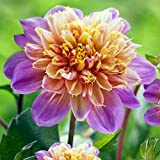 Life Style Powder-Puff/Anemone Dahlia - 1 Bulb Clump