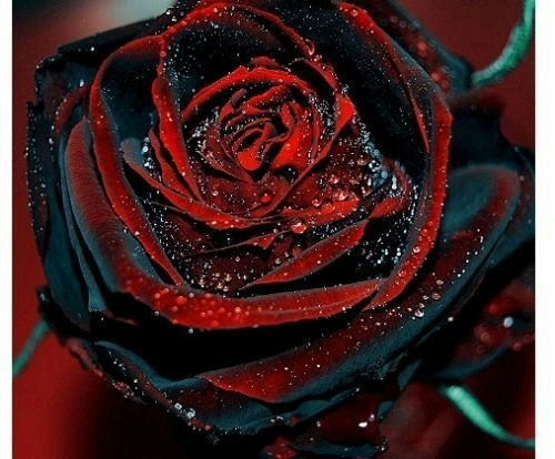 1 Professional Pack, Approx 50 Seeds / Pack, Rare Amazingly Beautiful Black Rose Flower with Red Edge Seedling Seed