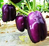 Purple Beauty Bell Peppers! - 100+ Heirloom Seeds! - SUMMER SALE! - (Isla's Garden Seeds) - Non GMO! - Organic Survival Seeds - 90% Germination - Total Quality!