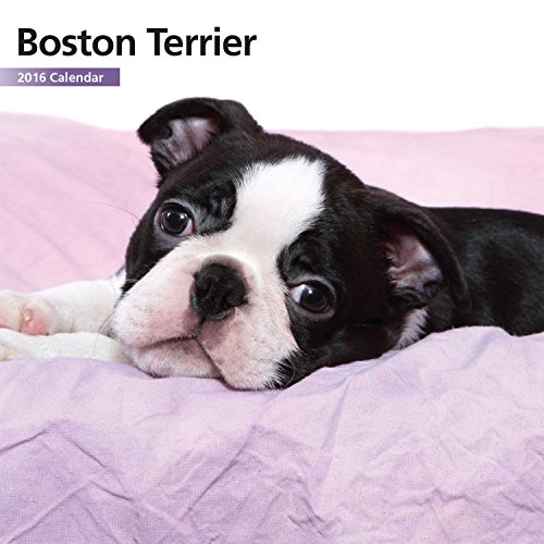 Boston Terrier  12 Month 2016 Mini Calendar