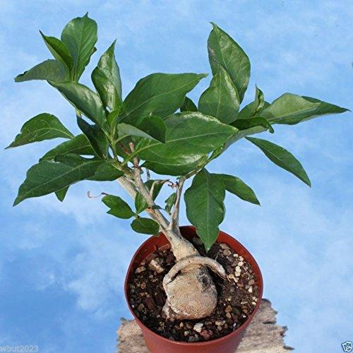 10 Baobab Seeds, (Adansonia Digitata), Monkeybread Tree, Grow Indoor or Outdoor !