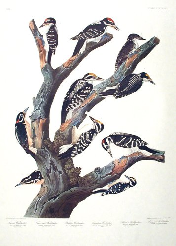 Maria's Woodpecker, Three-toed Woodpecker, Phillips' Woodpecker, Canadian Woodpecker, Harris's Woodpecker, Audubon's Woodpecker.''Birds of America'' (Amsterdam Edition) (Pl. 417) by