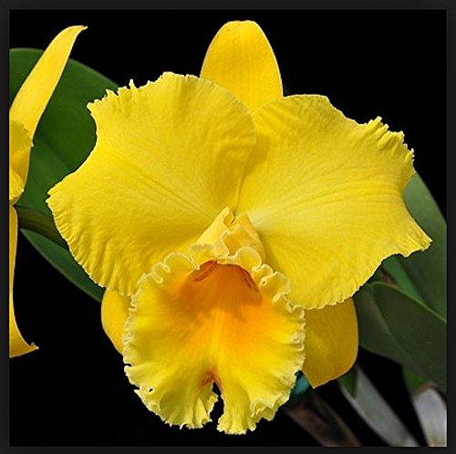 Orchid RLC Kelsii Keda Volcano Sunshine .. Stock - Care Vanda Orchid