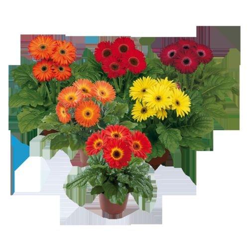 GERBERA DAISY - MIDI SPECIAL MIXTURE - 4 PLANTS - STARTER PLUGS - LIVE PLANTS