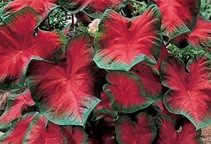 Amazon Com Caladium Blaze 6 Bulbs Thrives In Heat And Humidity