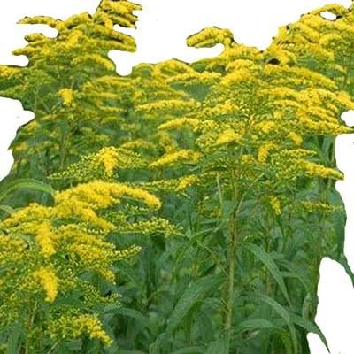Solidago- Goldenrod- 100 Seeds : Garden & Outdoor