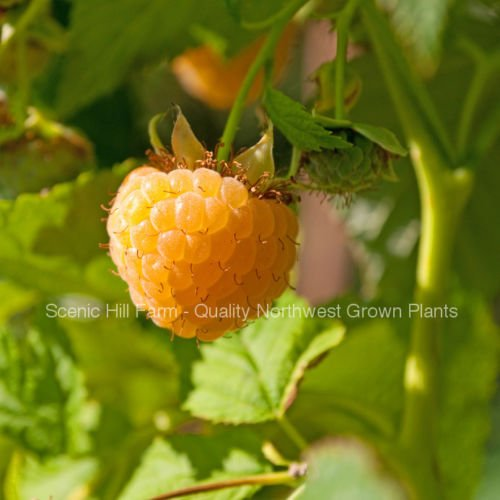 Details About 3 Potted Anne Golden Everbearing Raspberries Plants - Large and Sweet Berries