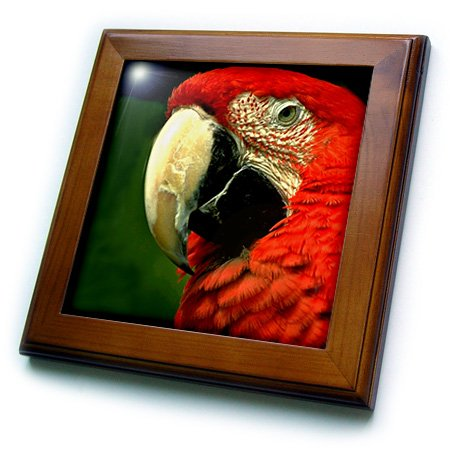 3dRose ft_685_1 Green-Winged Macaw Framed Tile, 8 by 8-Inch - Green Macaws Framed