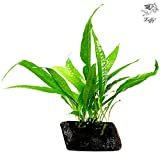 LUFFY Coco Philippines Java Fern: Live Aquatic Plant : Provides a Natural Environment for Your Fish: Hardy Plant with Longevity: Bring more color to your Aquascape (Philippine Fern (1 Pc))