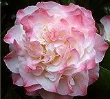 Nuccios Jewel Pink Camellia Japonica - Live Plant - Quart Pot