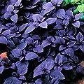 Bulk Organic Purple Basil Seeds