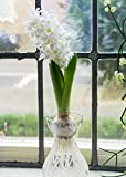 White Hyacinth Bulb Forcing Kit - Clear Glass Vase with White Hyacinth Bulb