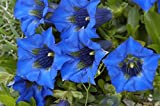 Gentian mixed seeds - Gentiana sp.