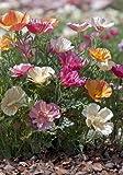 TROPICA - Kalifornischer Seidenmohn `Mixture` ( Eschscholzia californica )-100 Samen
