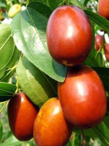 Chinese Jujube (Li Variety) Fruit Tree