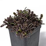 Leptinella squalida, Platt's Black, Brass Buttons for Miniature Garden, Fairy Garden
