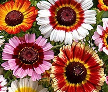 Potseed . Las Semillas de Flor del crisantemo: Mezcla del Arco Iris Inicio Semillas Color Mezclado Jardín [Semillas Home Garden Eco Pack] Semillas de la Planta: Amazon.es: Jardín